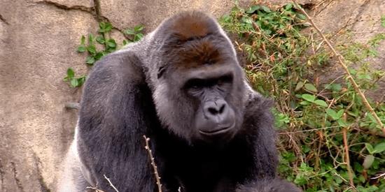 Gorilla Shot Dead After Grabbing 3-Year-Old Boy At Cincinnati Zoo