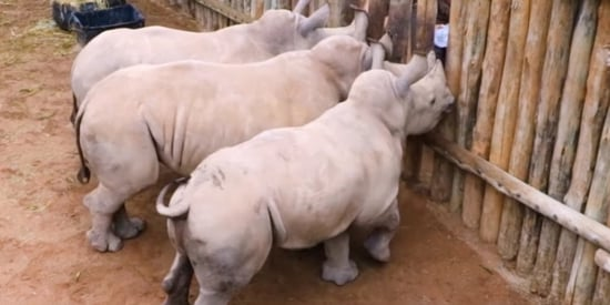 Orphaned Baby Rhinos' Desperate Cries For Milk Will Break Your Heart