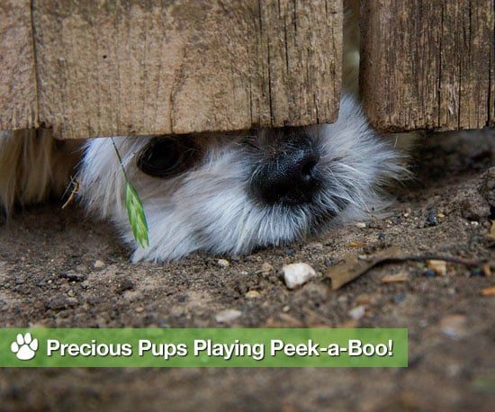 Cleverly Cute Canines Play Peek-a-Boo!