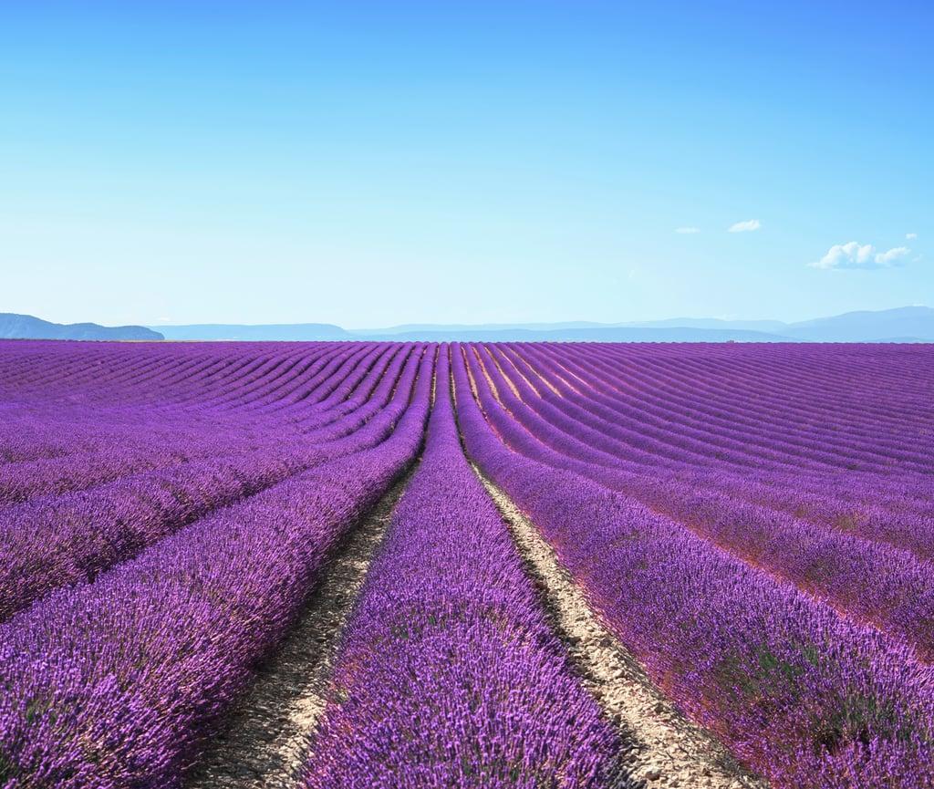 Go Lavender Picking