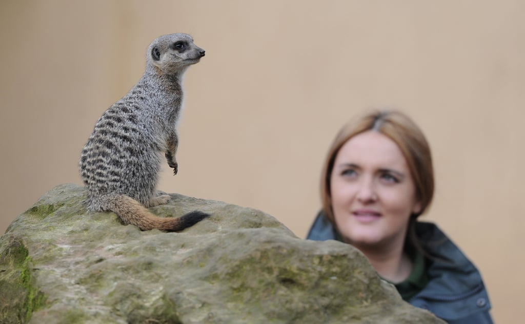 A curious meerkat stands tall during role call.