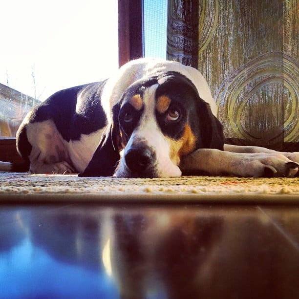 Treeing Walker Coonhound: Ready to Go