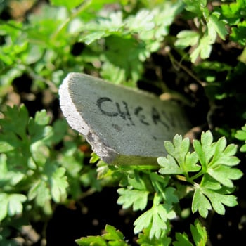 Chervil Makes a Comeback in Restaurant Kitchens