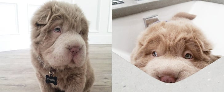 You're Going to Fall in Love With This Puppy That Looks Like a Teddy Bear