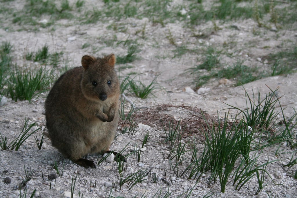 Quokkas even look like they're smiling when they're fast asleep!
