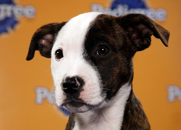 Brandy, a pit bull/collie mix, is ready to spike the ball in the end zone. Source: Animal Planet