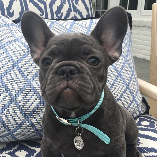 Reese Witherspoon Welcomes French Bulldog to Her Family