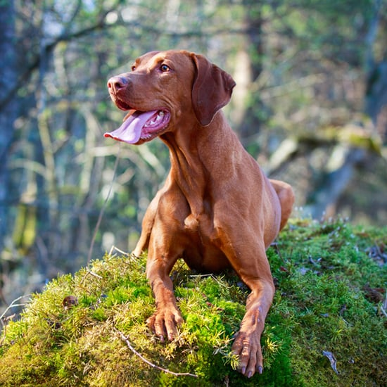 Get to Know the Vizsla: Hungary's Most Popular Export