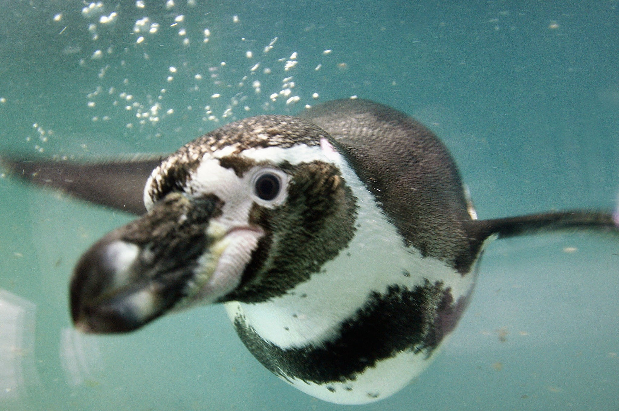Humboldt penguins, also known as Peruvian penguins, are warm-weather penguin living mostly on rocky mainland shores, near cliffs, or on islands off the coasts of Chile and Peru.