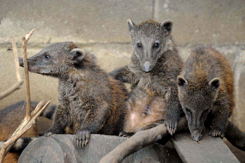 While some people may refer to these animals as coatimundi, that is actually not the proper name; Coati is. Some other nicknames include  Brazilian aardvarks, hog-nosed coons, and snookum bears. Awww, snookums.