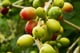 Cherries grow and ripen on coffee farms around the world.