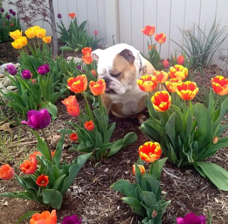 Bulldog Sniffing Tulips Like There's No Tomorrow Is Just One of the Week's Best Pics