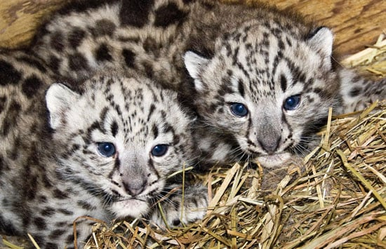 Baby Snow Leopards are BFF's