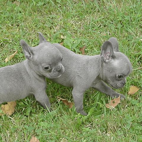 Globetrotters: Meet True Blue French Bulldog Pups