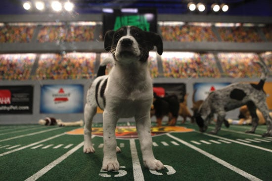 What Do You Know About the Puppy Bowl?