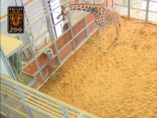 The Dallas Zoo Giraffe Baby Is Here – & You Need to Watch the Live Cam
