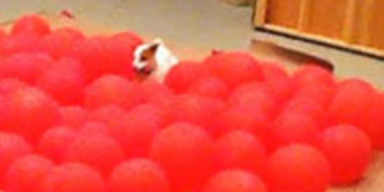 Happiest Dog In The World Pops 100 Balloons, Breaks Guinness World Record