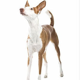 Facts About the Ibizan Hound