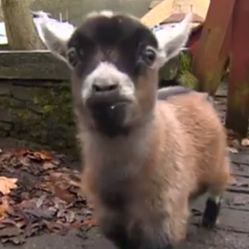 Benjamin the Baby Goat | Video