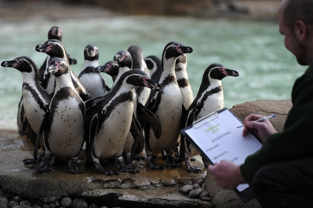 Tallying the tuxedoed guests in the London Zoo's penguin habitat.
