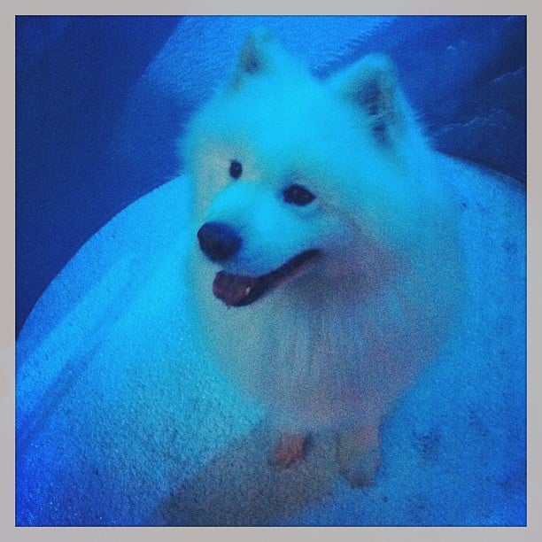 This adorable husky was the most popular guest of the night at the Network Ten winter launch last night.