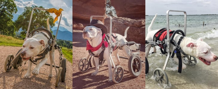 Thanks to a Wheelchair, This Pit Bull Gets to Enjoy Beautiful Adventures With His Owners