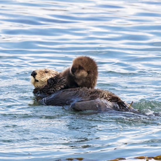 Baby Otter Learning to Swim