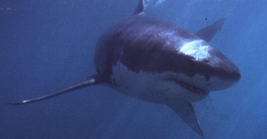 What Do You Know About Great White Sharks?