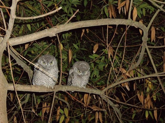 Spotted! Baby Western Screech Owls