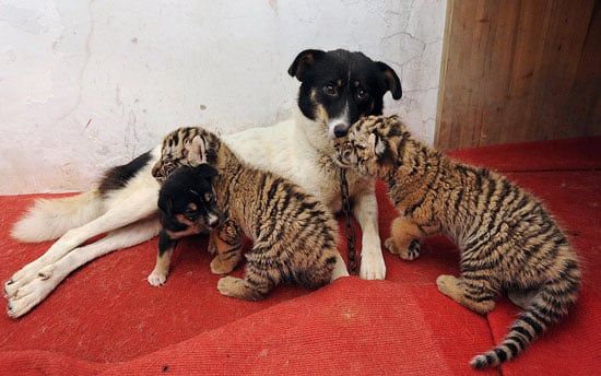 Dog Nurses Baby Lion and Tiger Cubs back to Health 2009-07-17 15:22:13