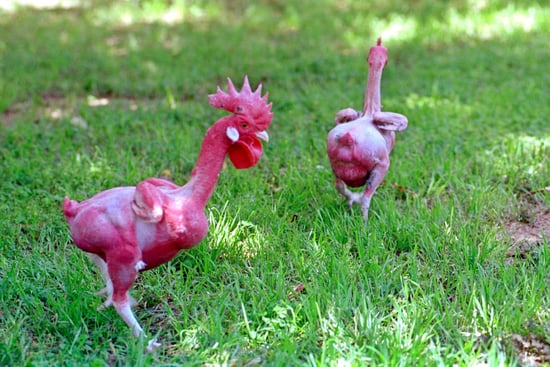 Genetically Altered Animals as Food?
