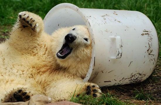 Flocke the Polar Bear Frolicks at Nuremberg Zoo