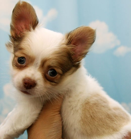 What a Lovely Chihuahua Coat!