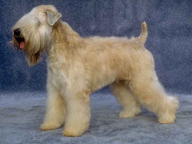 Soft-Coated Wheaten Terrier