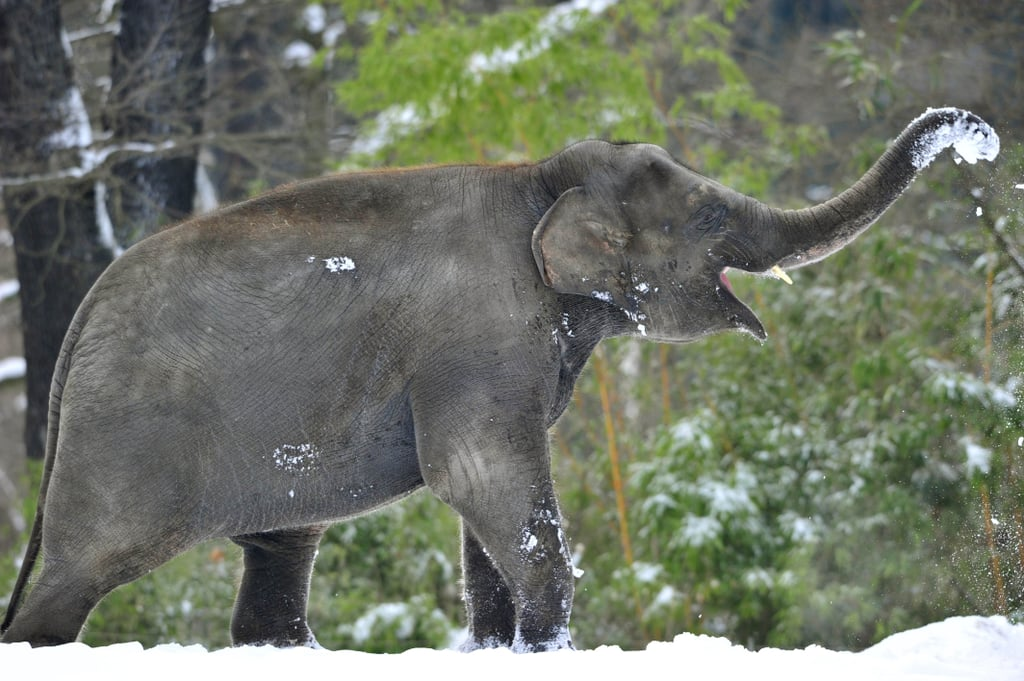 Watch Out For This Elephant's Giant Snowballs