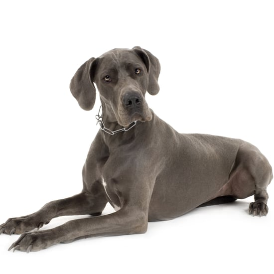 Great Dane Facts and Trivia