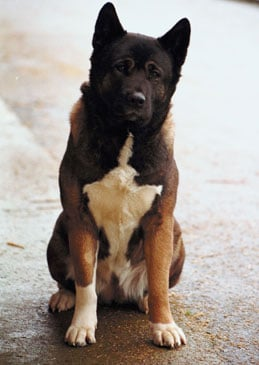 Facts About Akitas