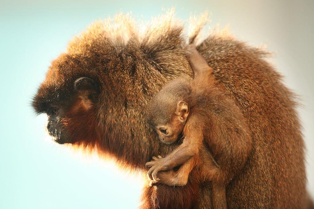 Baby Titi Monkey at London Zoo