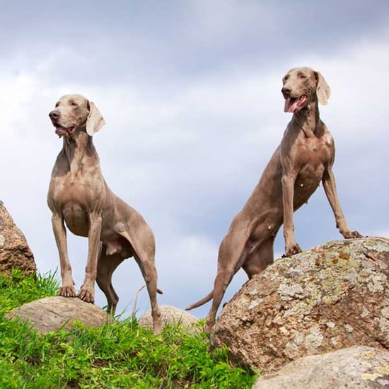 Get to Know the Weimaraner: The Great Gray Ghost