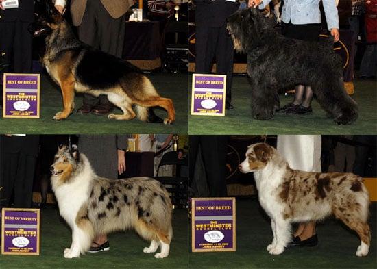 2008 Westminster Winners: Herding Group