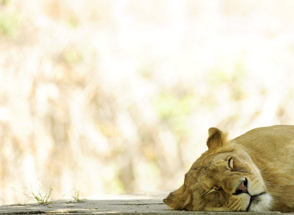 A nap in a shady spot lets this lioness handle the heat in Madrid.
