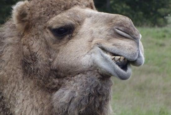 10-Year-Old Girl Bitten by Virginia Zoo Camel Awarded $155,000 Settlement