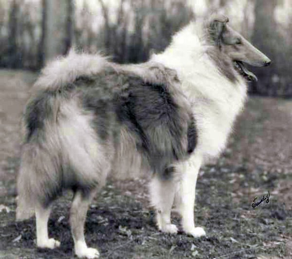 A collie has not won since Laund Loyalty of Bellhaven in 1929. Source: American Kennel Club Archives