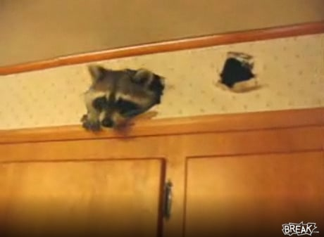 Punkass Raccoon Loves Kitchen Walls