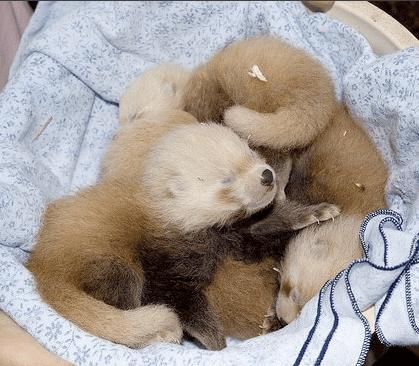 What Sound Do Red Panda Babies Make?
