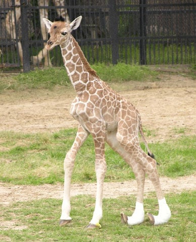 Baby Giraffe With Rare Medical Condition Dies at Mississippi's Jackson Zoo