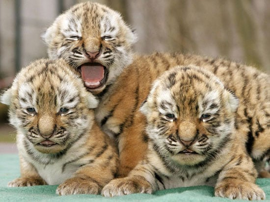 Sugar Shout Out: Three Baby Tigers Are Better than One!