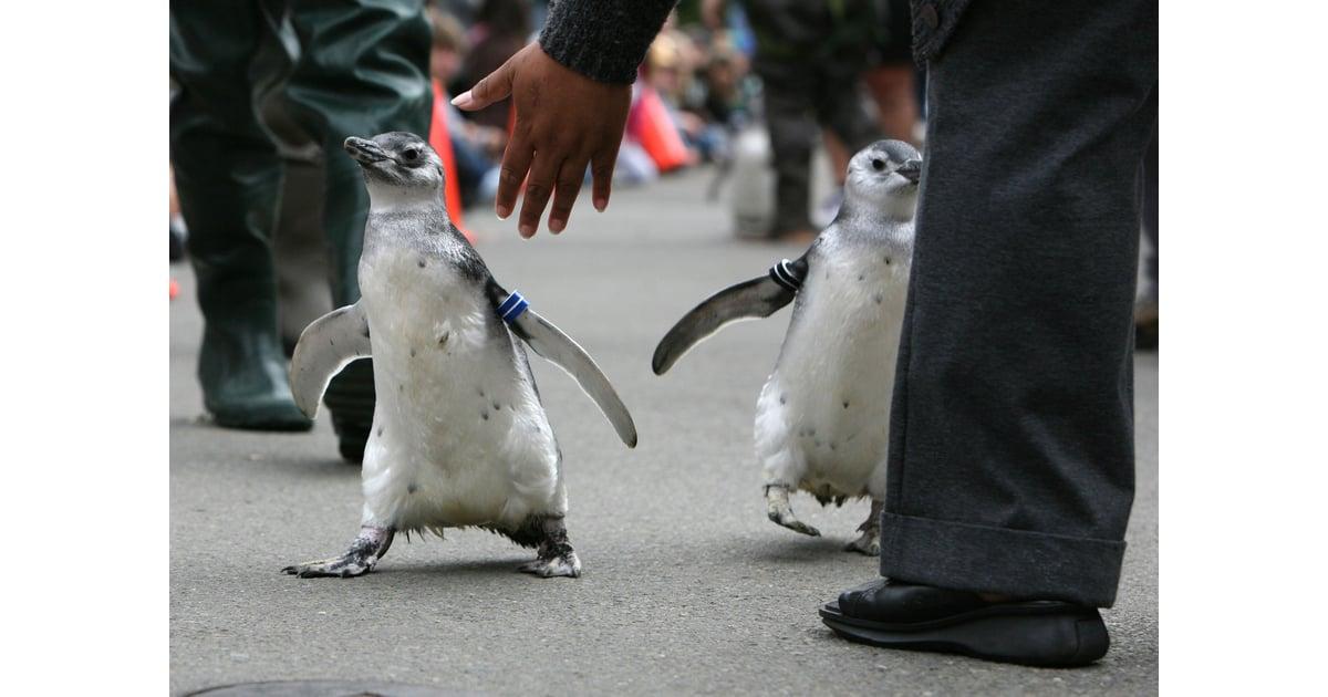 Содержание пингвинов в домашних условиях
