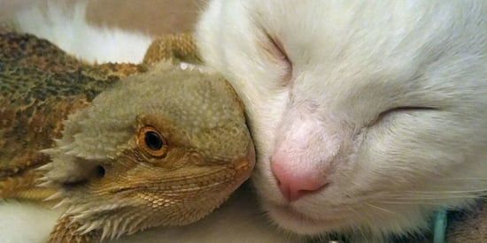 This Cat And Bearded Dragon Are Total Snuggle Buddies
