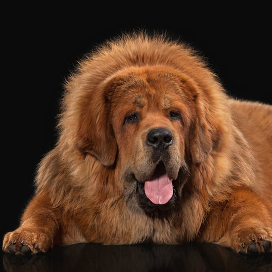 Breed Fads Are Bad for Dogs. Just Look at the Tibetan Mastiff